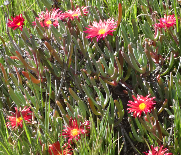 iceplant-abalone-cove