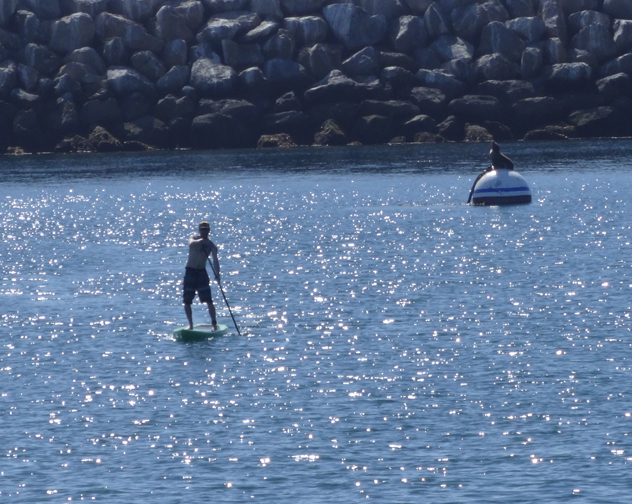 paddle-board-seal-redondo