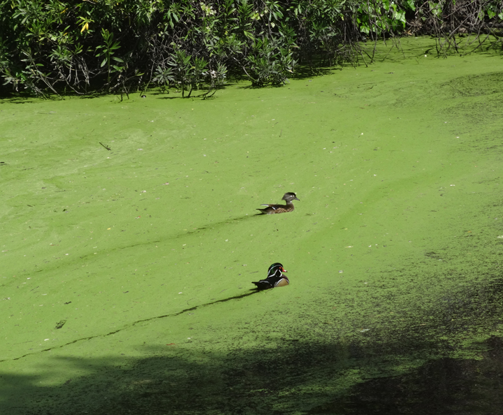 ducks-dashing-through-the-slough
