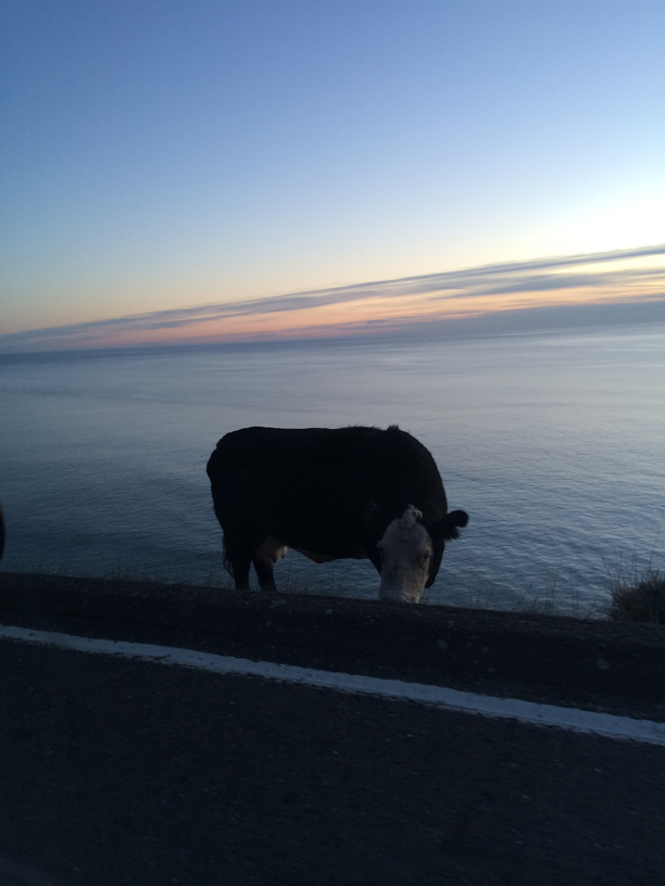 cow-by-road-fort-ross