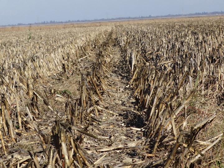 dead-corn-everywhere