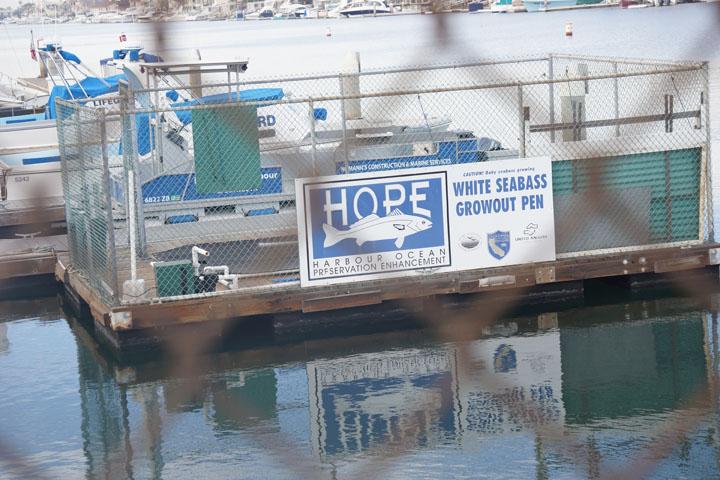 caution-baby-sea-bass-growing-huntington-harbor