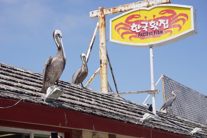 pelicans-pier-redondo