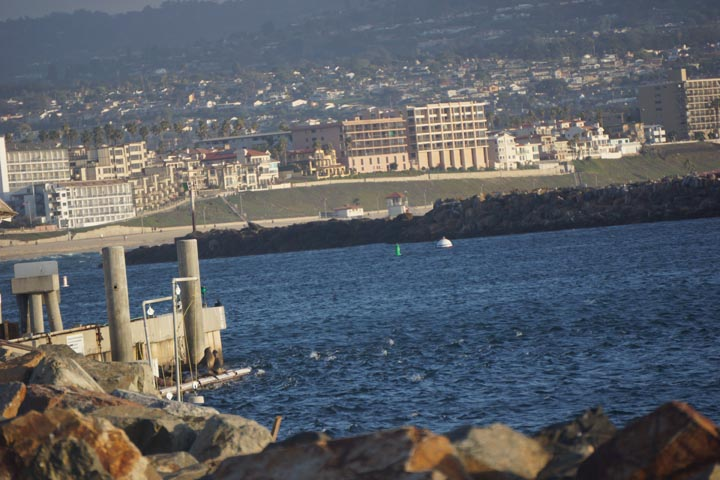 seals-seeking-harbor-redondo