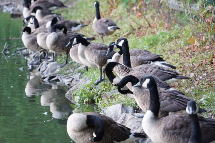 canadian-geese-haverford