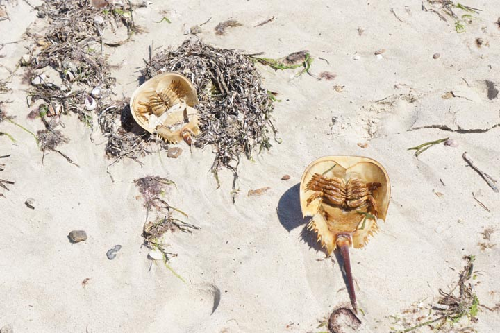 horseshoe-crabs-hyannis