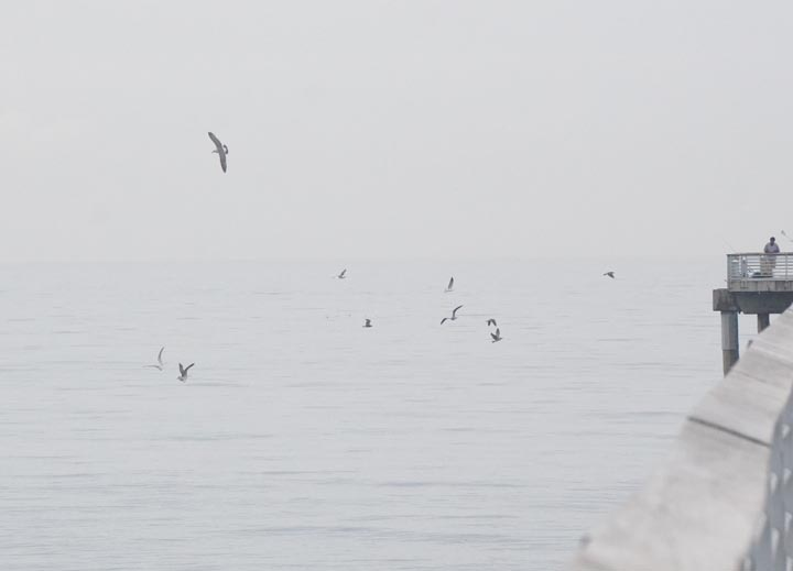 birds-circling-near-pier-hermosa