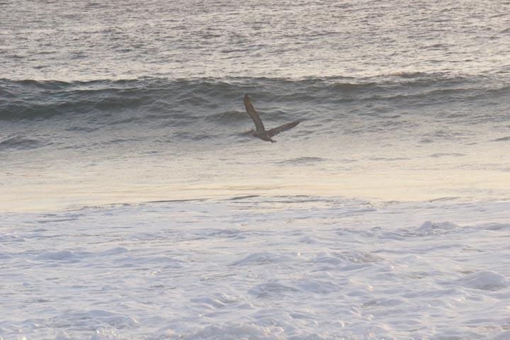 pelican-hermosa