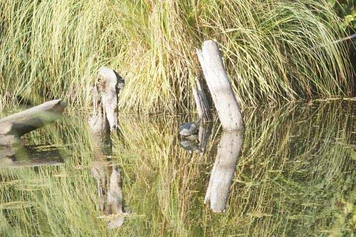 turtle-reflected-five-mile-slough