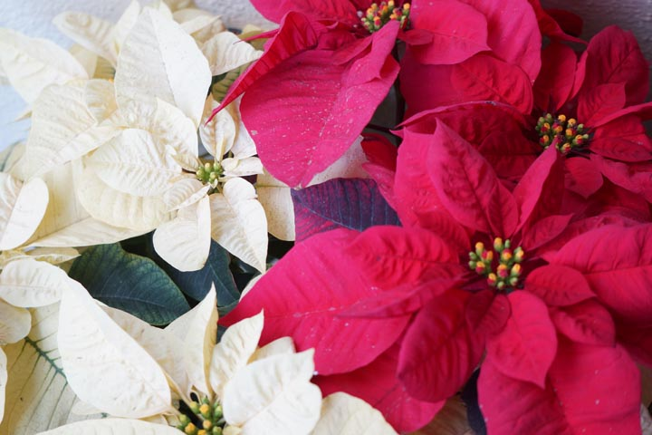 happy-holidays-poinsetta-red-white