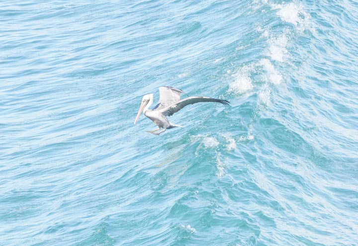 pelican-hopping-wave