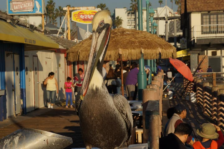mr-pelican-wants-fish-redondo-pier