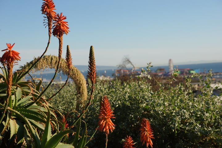 flowering-aloe-with-santa-monica-pier-background
