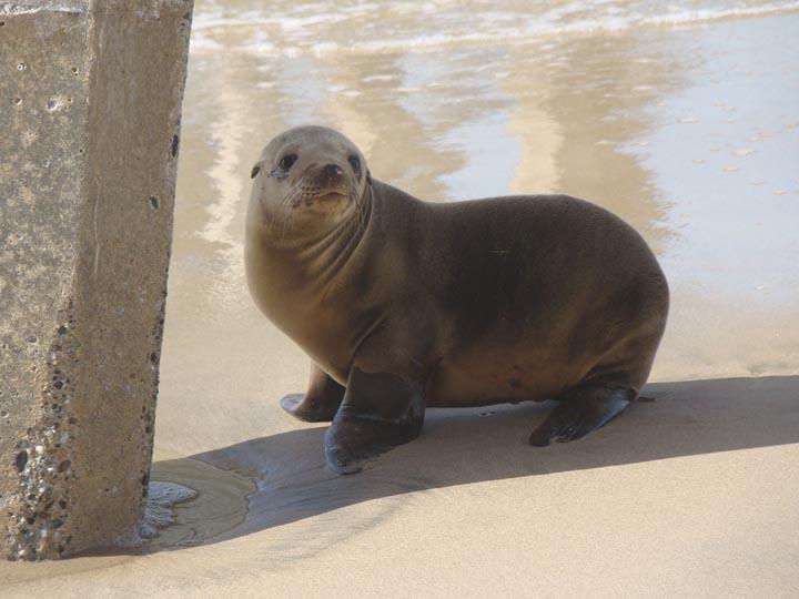 sea-lion-looking-back-hermosa-pier