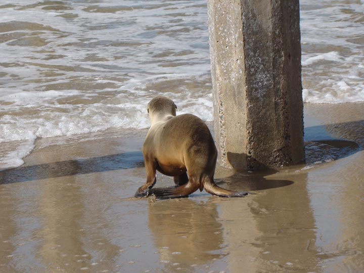 sea-lion-moving-water-hermosa-pier