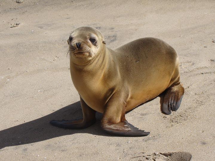 sea-lion-under-pier-hermosa