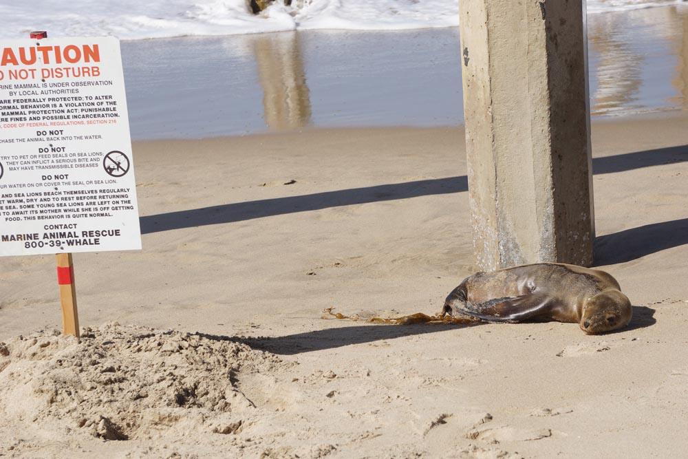 beached-sea-lion-pup-pier-hermosa