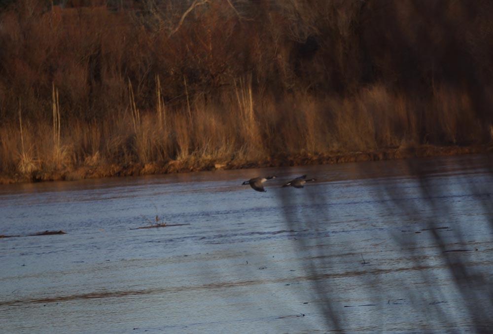 geese-rio-grande-abq
