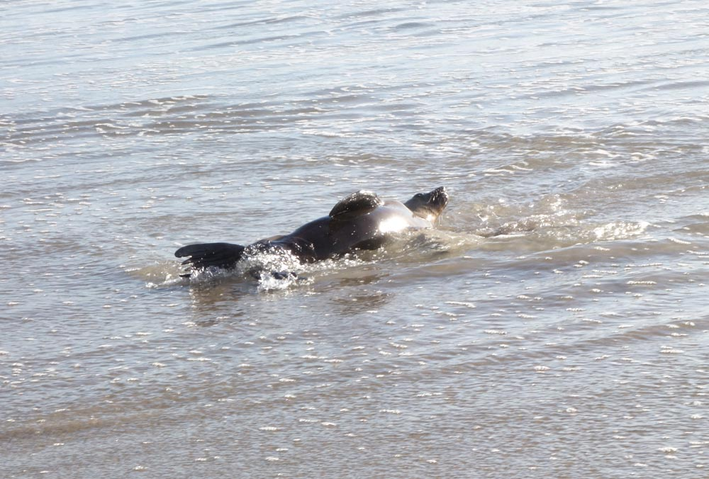 sea-lion-wriggling-in-water-herondo