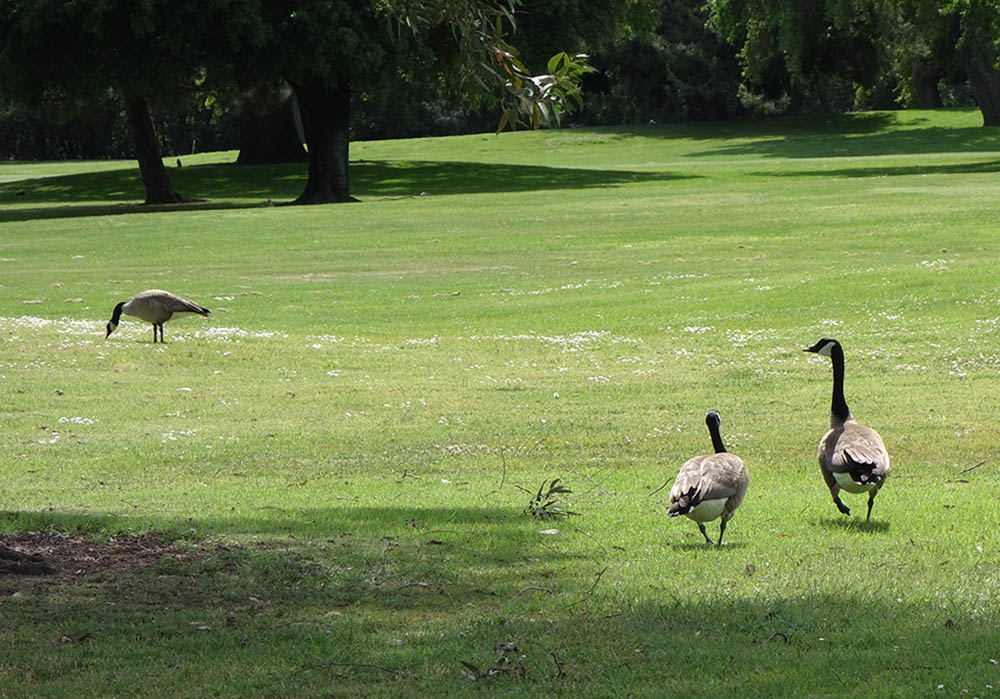 geese-strolling-the-course-stockton