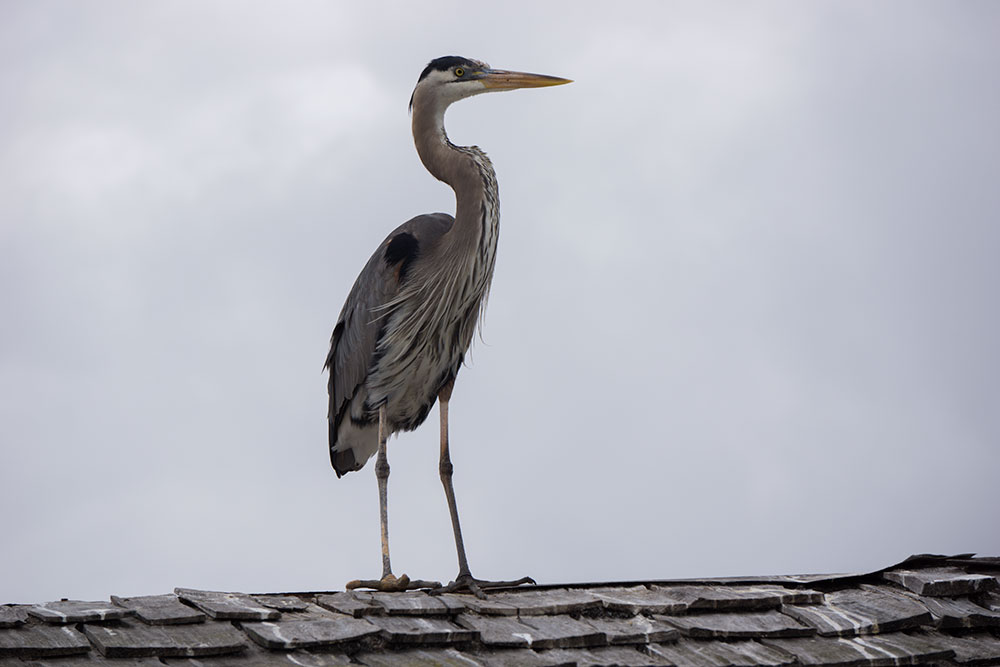 great-blue-heron-pier-tackle-shop