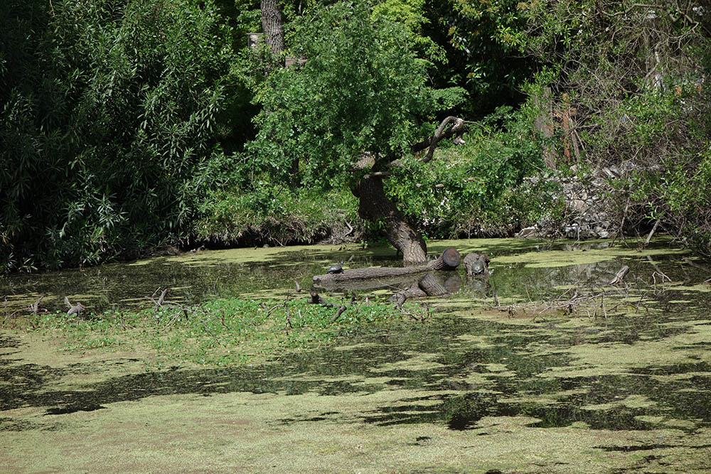 turtles-hanging-out-slough-stockton