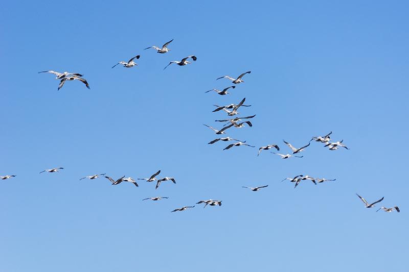 pelican-parade-hermosa-oct