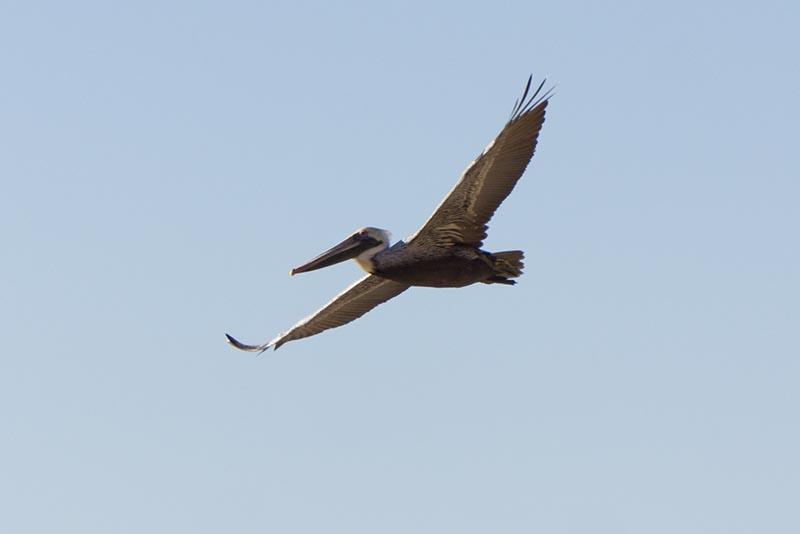 pelican-pv-late-oct-malaga