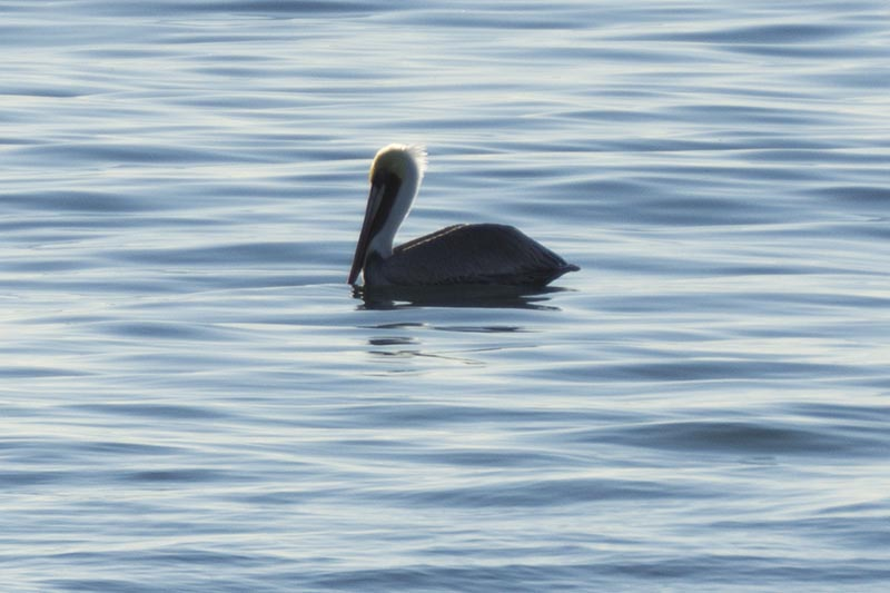 pelican-repose-hermosa-beach-nov