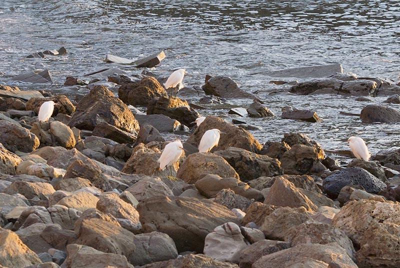 egrets-rocks-pv-golden-hour-jan