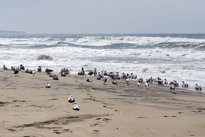 gulls-oily-sand-el-porto-march-morning