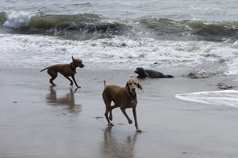 dogs-vs-seal-mavericks-beach-april