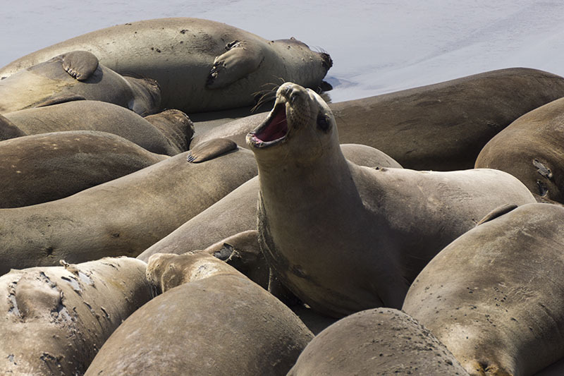 molting-elephant-seal-april-rookery