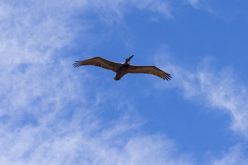 pelican-soaring-pv-april-afternoon