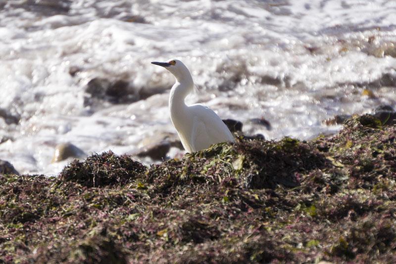 snowy-egret-seaweed-pv-cove-april