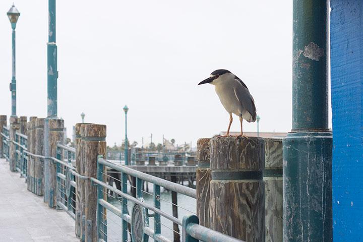 night-heron-watching-over-pier-redondo-may
